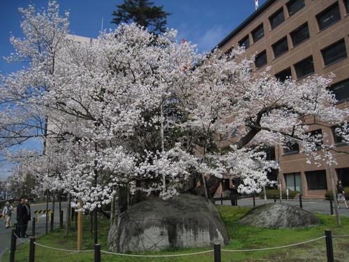 石割桜の見物についてのお知らせ...